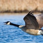 Branta_canadensis_-near_Oceanville,_New_Jersey,_USA_-flying-8