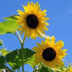 two-sunflowers-110661299854746a5r